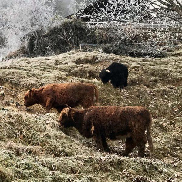#seenonmyrun #cattle #trailrunning #dornbirn #ebnit #mountains #frozen #instamountains #vorarlberg #myvorarlberg Ebnit, Vorarlberg, Austria