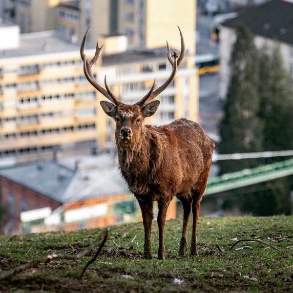 #hirsch #deer #deerphotography #bull #wildpark #wildparkfeldkirch #feldkirch #visitfeldkirch #vorarlberg #visitvorarlberg #myvorarlberg #nature #naturephotography ...
