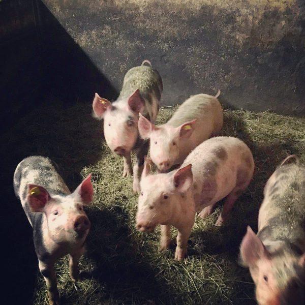 """""""Von den Höfen unserer Heumilchbauern"""" 👉 Schwein gehabt! 🐖🍀 Ein Leben auf einem Hittisauer Bauernhof 👨🏻🌾🚜🐄🐖🐓🐈 statt..."""