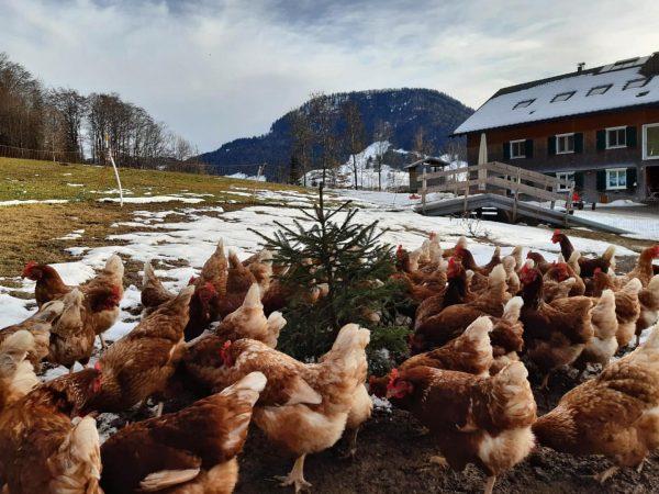 Es weihnachtet 🎄💫 sehr, auch auf den Höfen unserer Heumilchbauern. Die Hühner 🐓🐓 unserer Milch- und Joghurtlieferanten,...