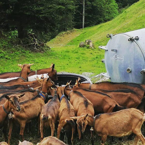 Unsere Ziegen genießen den feinen Alpsommer in den Bergen** frisches Kühles und FEINES ...