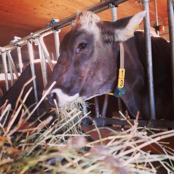 """""""Von den Höfen unserer Heumilchbauern"""" Schon gewusst?! 👉 Die silofreie Fütterung der Tiere 🌾🐄 ist eine Grundvoraussetzung,..."""