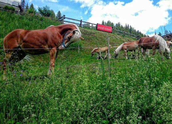 Mateera Gargellen #österreich #vorarlberg #montafon #gargellen #gargellenerleben #meinmontafon #montafonmoments #horse #horses #pferd #pferde #haflinger #reiten #reiten🐴 #bergeplus...