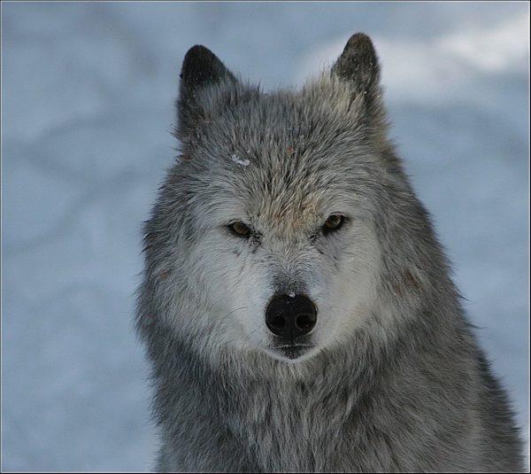 #wolf Wildpark-Feldkirch