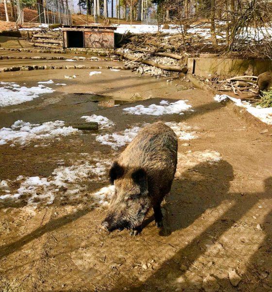 #februar2021 #winter #winterteims #wildschweine #wildschwein #wildboar #wildparkfeldkirch #osterreich #vorarlberg #vorarlbergwandern #visitvorarlberg #feldkirch #priroda ...