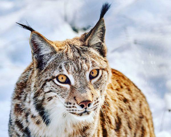 Der Luchs ist so ein wunderschönes Tier fasziniert mich immer wieder 😀 #lynx ...