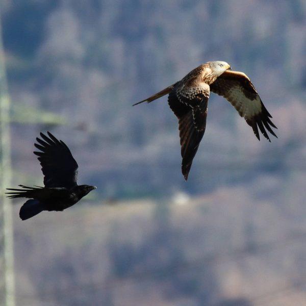 Ganz schön mutig, der Rabe.😱😱😱 . . . #meinvorarlberg #vorarlberg #Vierländereck #visitaustria #365austria ...