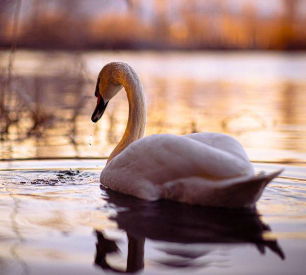 Schwäne am Baggersee.🦢❄️📷 . . . . #schwan #swan #bird #wildlifephotography #wildlifeshots #wildanimals ...