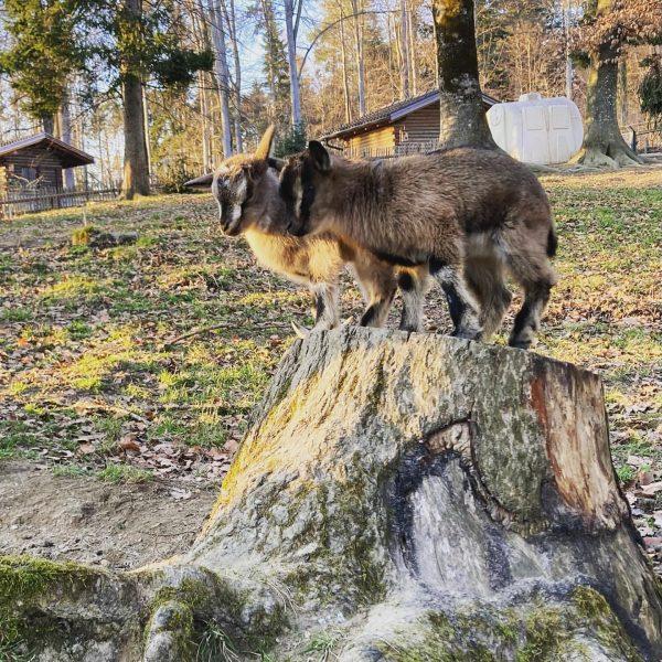 Frühlingsgefühle im Wildpark in Feldkirch. Ein schönes Ausflugsziel für die ganze Familie. Derzeit ...