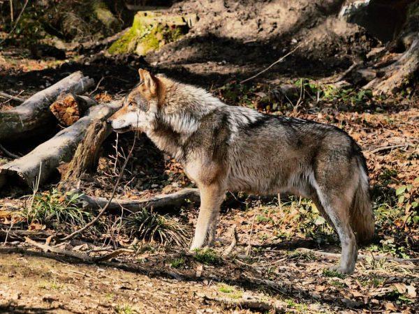 #wolf 🐺 #wauwau #hündchen . . . . #wildpark #wildparkfeldkirch #feldkirch #vorarlberg #visitvorarlberg ...