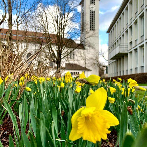 #ouoschtrglogga #narzissen #daffodils #jonquilles #lustenau #luschnou Lustenau