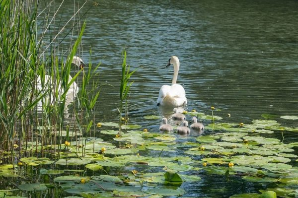Naturwunder direkt vor unserer Haustür - wie diese Schwanenfamilie im Alten Rhein - ...