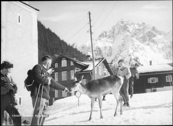 "Hirschkalb ""Gretl"" 1960 im frühlingshaften Gargellen, Vorarlberg, Austria #montafon #gargellen #stgallenkirch #muntafu #sonneundski #montafonermuseen #montafonarchiv"