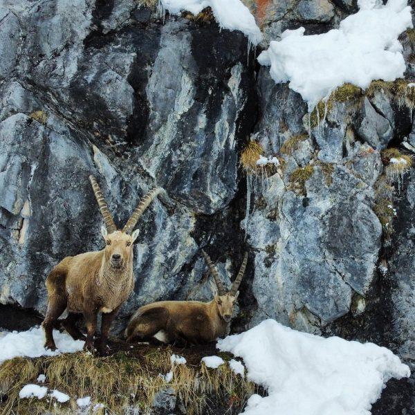 Das Winterhaar wird schön langsam hell 🌞🐐 #wildlifephotography #wildlife #auroralech #nature #naturephotography #lechzürs ...
