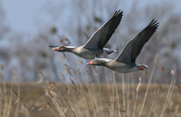 Balzsaison ist eröffnet #graugans #schleienlöcher #hard #visitvorarlberg #machurlaubinvorarlberg #machurlaubambodensee #lakeofconstance #nature #greylaggoose #bird ...
