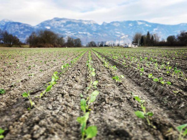 Kohlrabi, Blumenkohl, Brokkoli und Frühkraut wurden heute im #heidensand gepflanzt. Jetzt muss nur ...