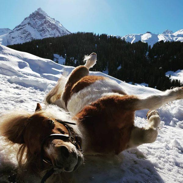 ☀️❄🏔 Jacky wird den Schnee vermissen 🏔❄☀️ #schneeliebe #shettyliebe #frühling #vergalden #gargellen #montafon