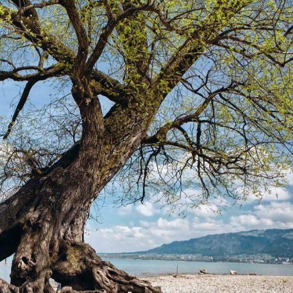 #BaumDerWoche: Die Weide vom Bodensee. Weiden zählen zu den Pionierbaumarten. Sie schaffen es, ...