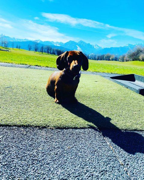 Anton-Ferdinand #loveworking #letthesummerbegin☀️ #workingdogs #notabadworkingspace Golfclub Montfort Rankweil