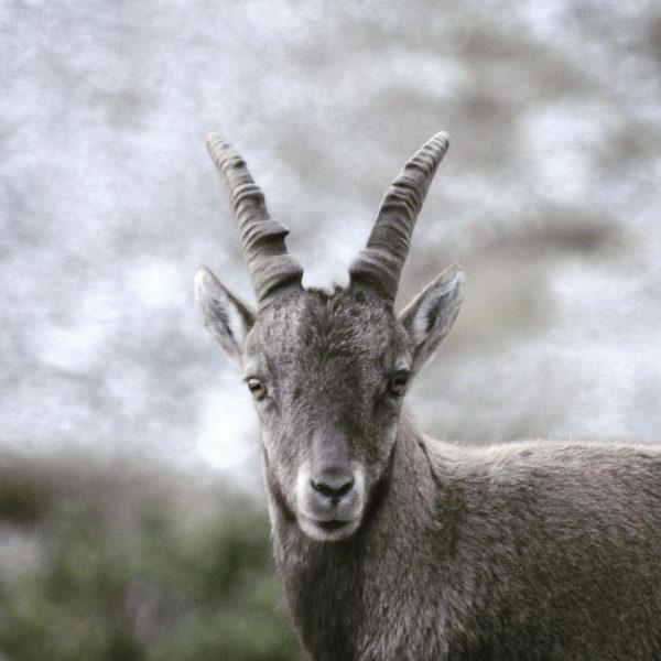 Junger Steinbock in der Dämmerung ☁️ #wildlifephotography #wildlife #auroralech #nature #naturephotography #lechzürs #lechzuers ...