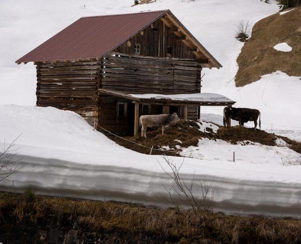 Kühe im Frühling.... #kleinwalsertal #allgäueralpen Kleinwalsertal Mittelberg