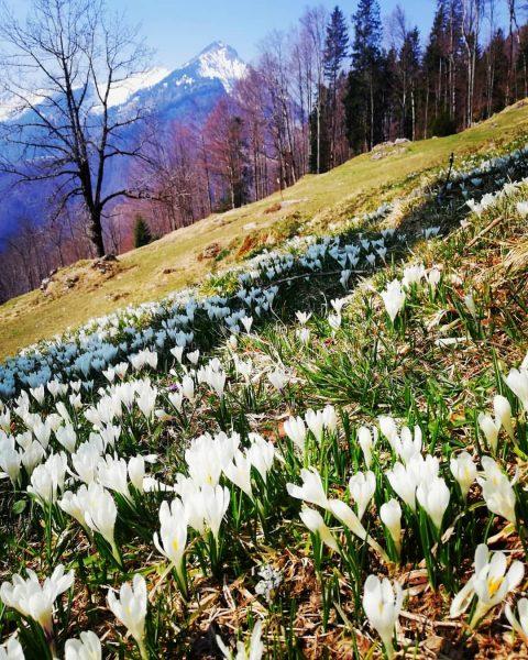 Vorfreude auf den Frühling #bregenzerwald #mellau #bregenzerwald_fan #Frühling #Krokus #wandern #wanderung #hiking #natur #mountains #gopfberg #vorarlberg #austria...