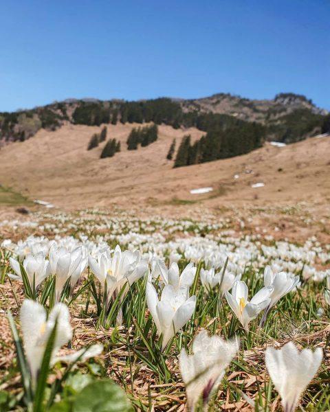 Frühlingserwachen in den Bergen 🌷🏔☀️ Im Naherholungsgebiet Schuttannen der @stadt_hohenems verkünden die Krokusblütenfelder auf 1.150 Höhenmeter den...