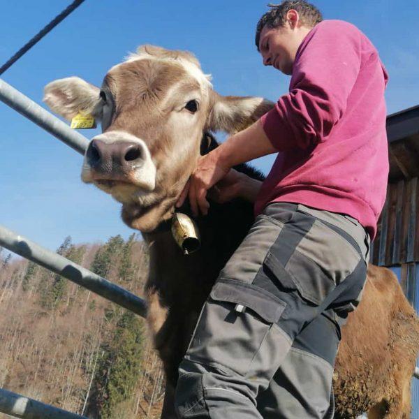 """""""Von den Höfen unserer Heumilchbauern"""" Alle helfen mit, wenn die Tiere ihre Weideglocken angelegt bekommen. Danach dürfen..."""