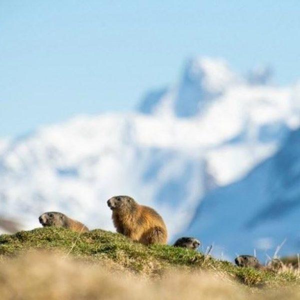 Sonntag ist Familientag. 📸 @fredfriedrichbohringer #murmeltier #marmot #natur #nature #naturelovers #wildlife #warthschröcken #bregenzerwald #visitbregenzerwald #vorarlberg #visitvorarlberg #myvorarlberg...