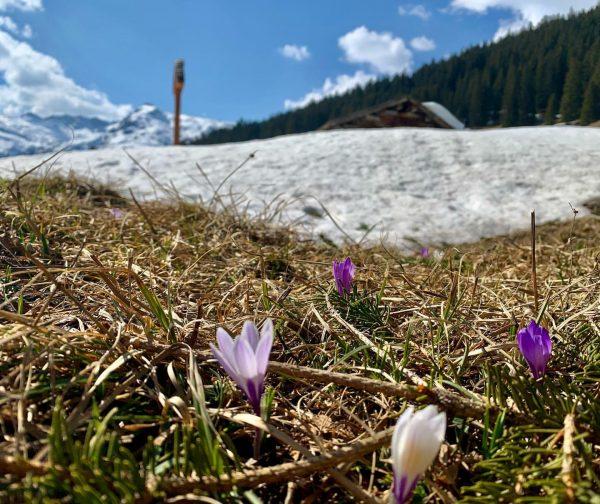Der Krokus ist der Vorbote des Frühlings und ist jetzt auch am Arlberg zu finden. Obwohl die...