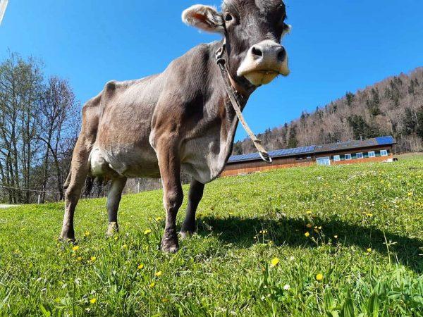 """""""Landwirtschaft in Hittisau"""" 👉 Heumilchkuh """"Ella"""" hat's gut. 👈 Zusammen mit ihren Artgenossinnen 🐄🐄🌾☀️ genießt sie den..."""