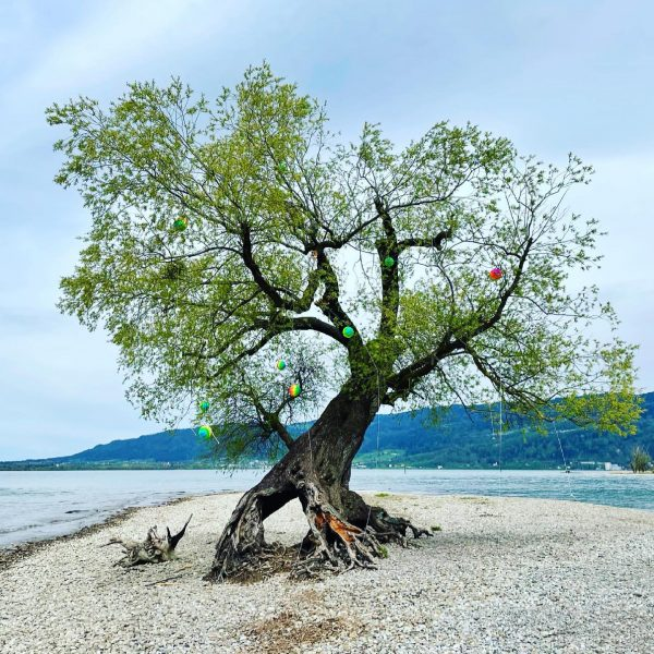 "Die berühmte Wurzelweide in Bregenz ""Neu Amerika"" #tree #lake #bodensee #lakeconstance #bregenz #vorarlberg ..."