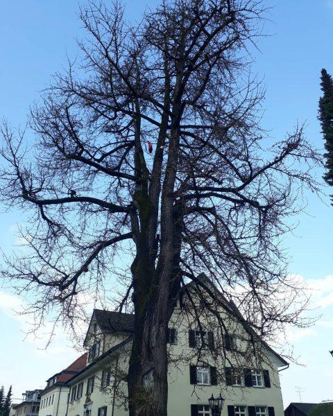Der Ginkgobaum neben dem Hohenemser Rathaus Eine besondere Naturschönheit ist der urzeitliche Ginkgobaum (lat. Ginkgo biloba) neben...