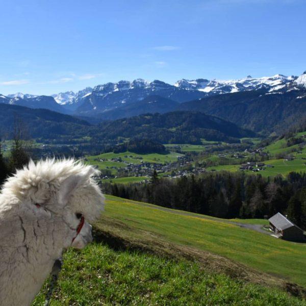 Muttertagsspaziergang mit unseren Alpakas 🦙🦙🦙❤️ Ab 19.5.21 ist unser Ferienhaus wieder geöffnet, und ...