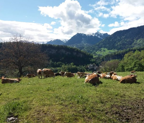 #alpenliebe #visitaustria #visitaustria #feldkirch #schattenburg #wildpark #cowsofinstagram #friday #
