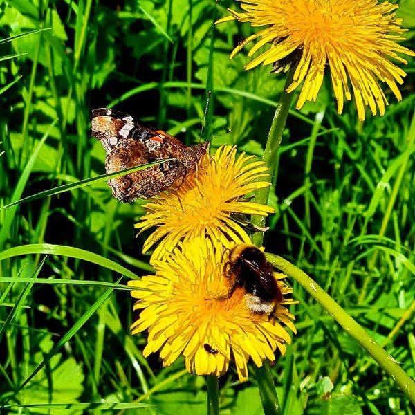 Monarchfalter und Hummel #hummel #monarchfalter #löwenzahn #bürserschlucht Bürser Schlucht