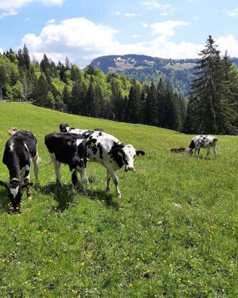"""""""Von den Alpen 🏔 unserer Heumilchbauern"""" Von den ganzen Heuarbeiten im Tal bekommen ..."""