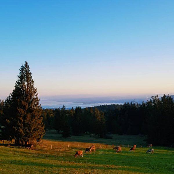 Die Kühe🐮 der Sennalpe Oberlose am Bödele erleben einzigartige Sonnenaufgänge mit Blick zum ...