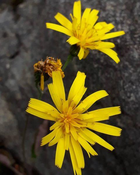Einsame Blume auf einem Felsen Am 7. Mai 1971 donnerte im Hohenemser Oberklien ...