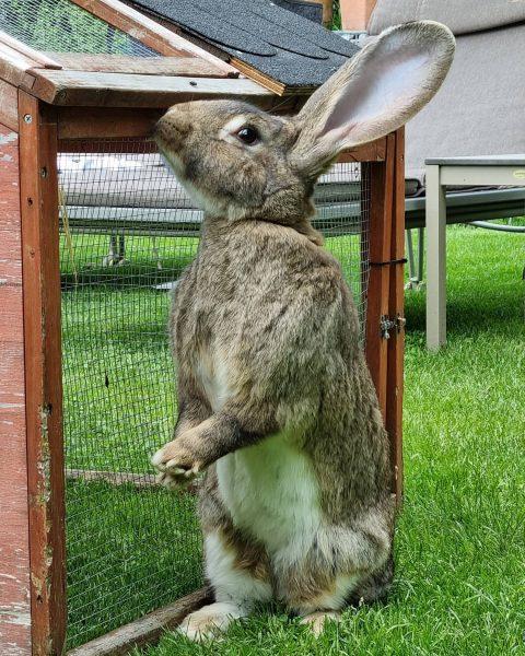 #deutscherriese #hase #rabbit #kingsize #valavier #brand #brandnertal #vorarlberg #österreich Brand, Vorarlberg, Austria