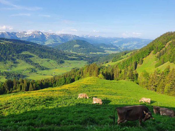 """""""Von den Alpen ⛰ unserer Heumilchbauern"""" Weidegang 🐄🌾☀️ mit traumhaftem Ausblick 🏔 für ..."""