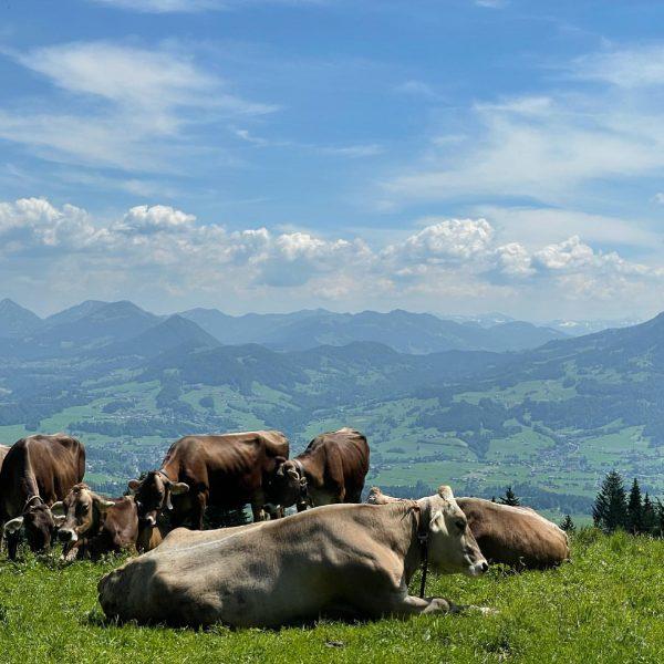 🐮🏔🇦🇹 #austria #vorarlberg #bregenzerwald #visitbregenzerwald #bödele #dornbirn #alps #mountains #cows #hike #lovemountains #shotoniphone ...