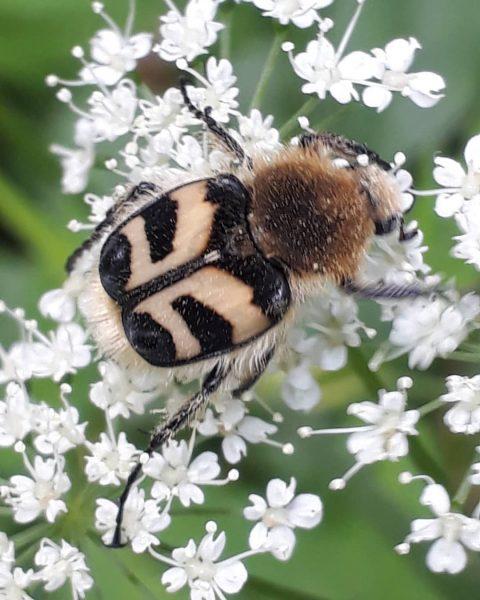 Eine fliegende Besonderheit Nicht weit von der Hohenemser Tiergartensiedlung, die ihren Namen vom ...