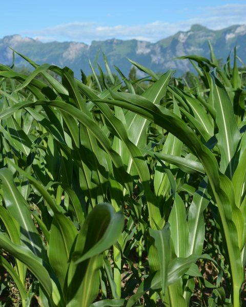 Felder-Update! Schön, wie alles wächst 🙌😍 - Mais, Kartoffeln, Dinkel und Äpfel! 🌽🌱🥔🍎 ...