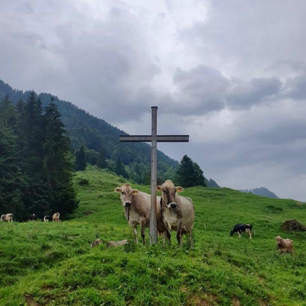 """""""Von den Alpen ⛰ unserer Heumilchbauern"""" Diese #heumilchkühe 🐄🐄 genießen den täglichen Weidegang ..."""