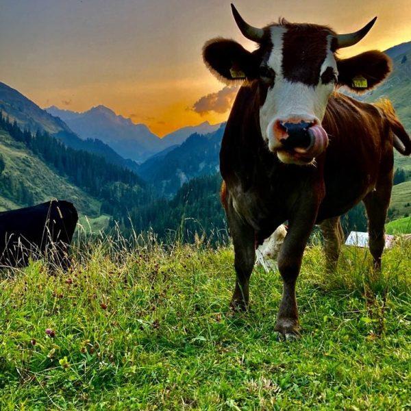 Die Kühe genießen schon die Sommerfrische hier in Warth. Wann kommst Du vorbei? ...