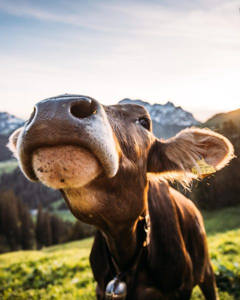 Seit ihr auch so neugierig wie diese Kühe? Dann kommt vorbei, genießt und ...