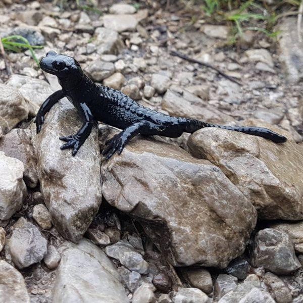 Perfect weather to see an alpine salamander aka we got rained on. #alpenwatersalamander ...