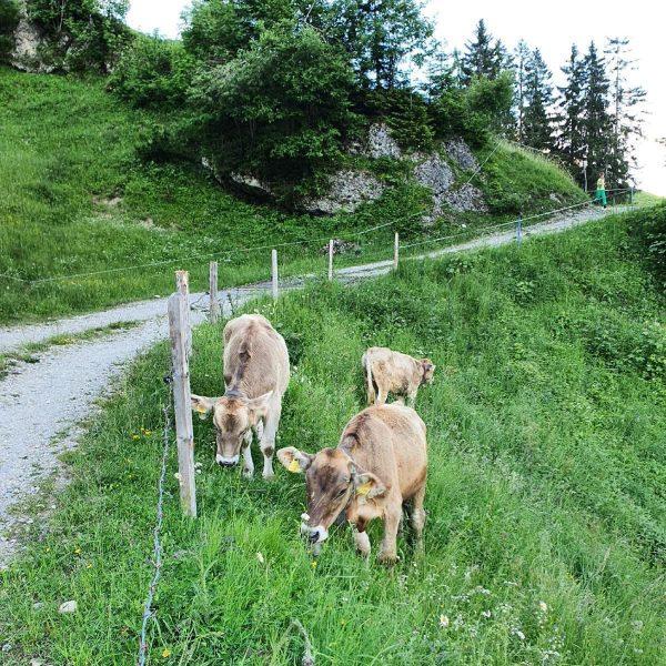 """""""Von den Alpen ⛰ unserer Heumilchbauern"""" Diese Rinder 🐄 verbringen den ganzen Sommer ..."""