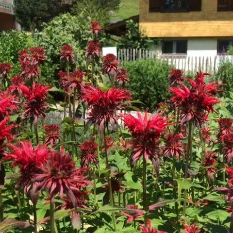 Die Bienen fliegen regelrecht auf unsere Goldmelisse....sie ist heuer auch wieder wunderschön. Habt ihr diese Pflanze, auch...